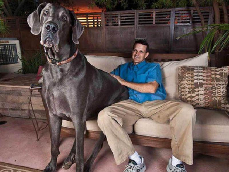 plus grands chiens