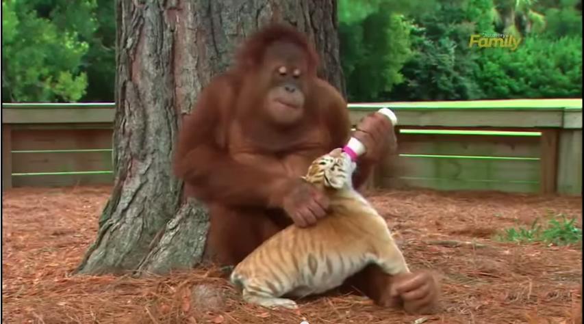 singe bébé tigres